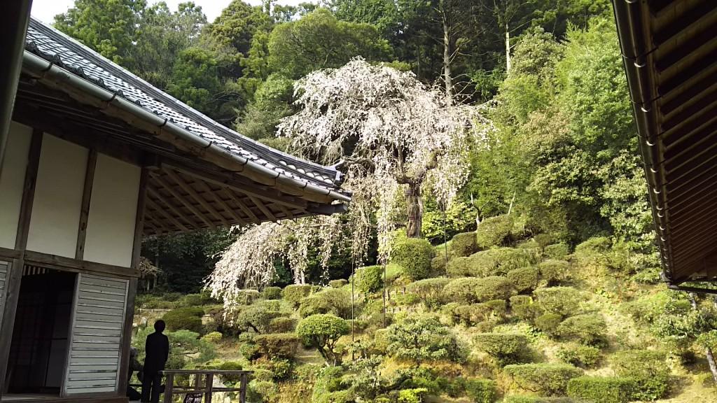 医光寺の枝垂桜