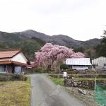 神角の枝垂桜
